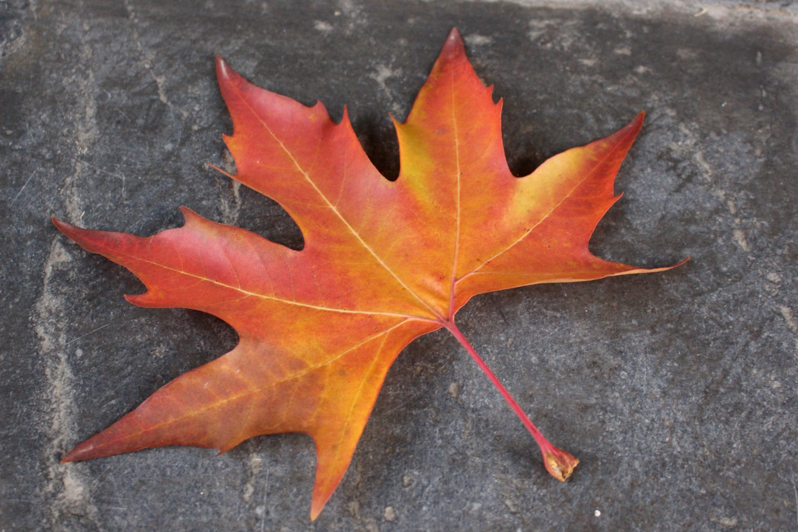 The bright red Chinar tree leaf seen in the fall autumn season in Srinagar, Kashmir