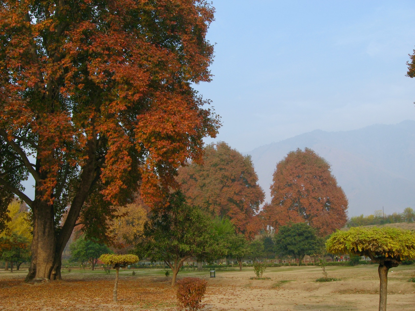 Fall autumn colors on the Chinar trees at a garden in Srinagar, Kashmir