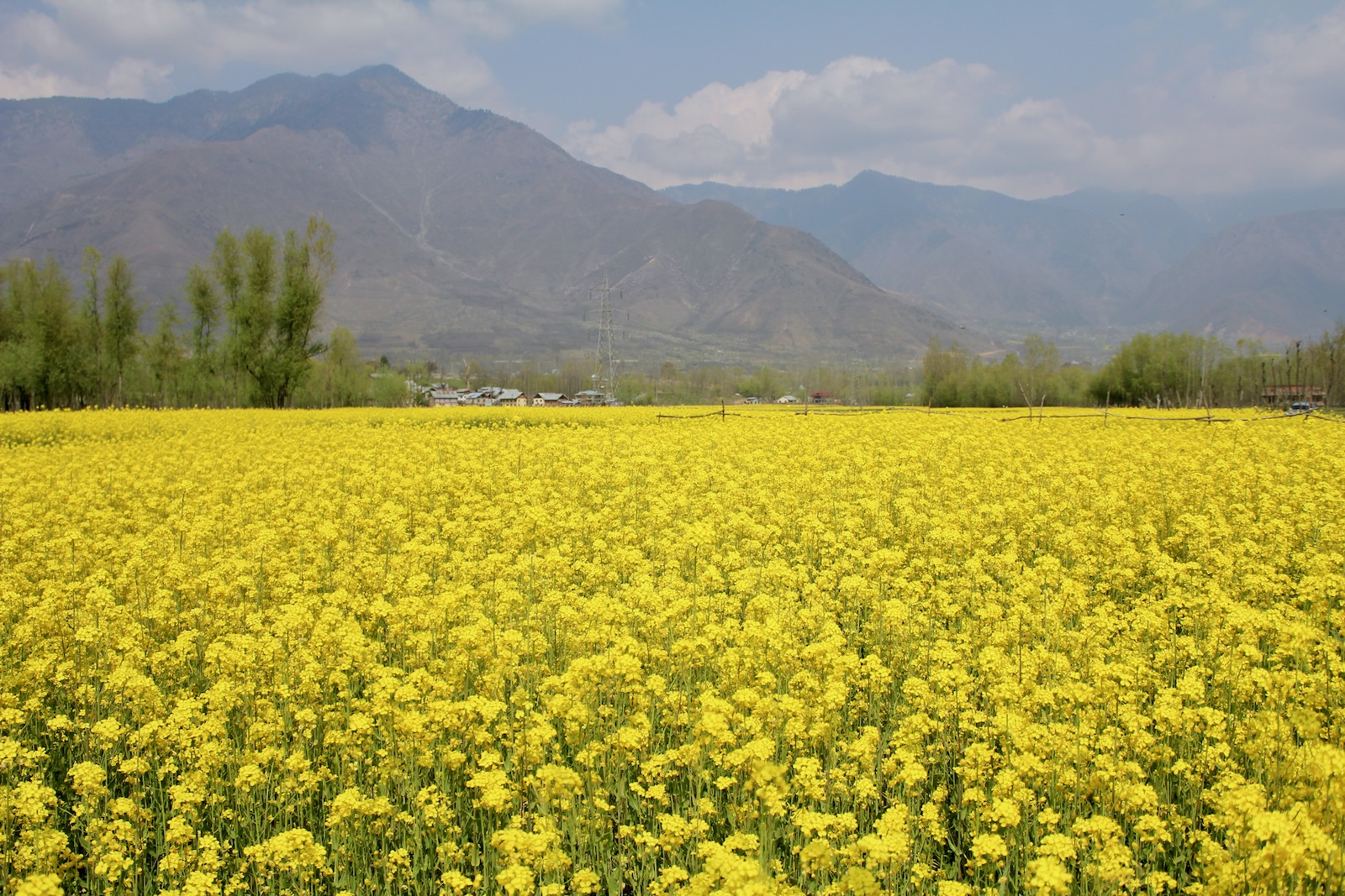 Bright yellow mustard fields in bloom during spring time in the Kashmir Valley, India